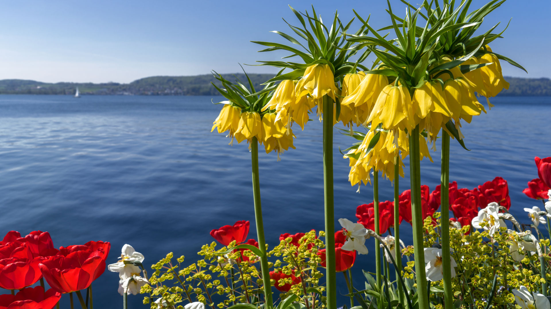 Blühende Frühlingsblumen am Bodensee