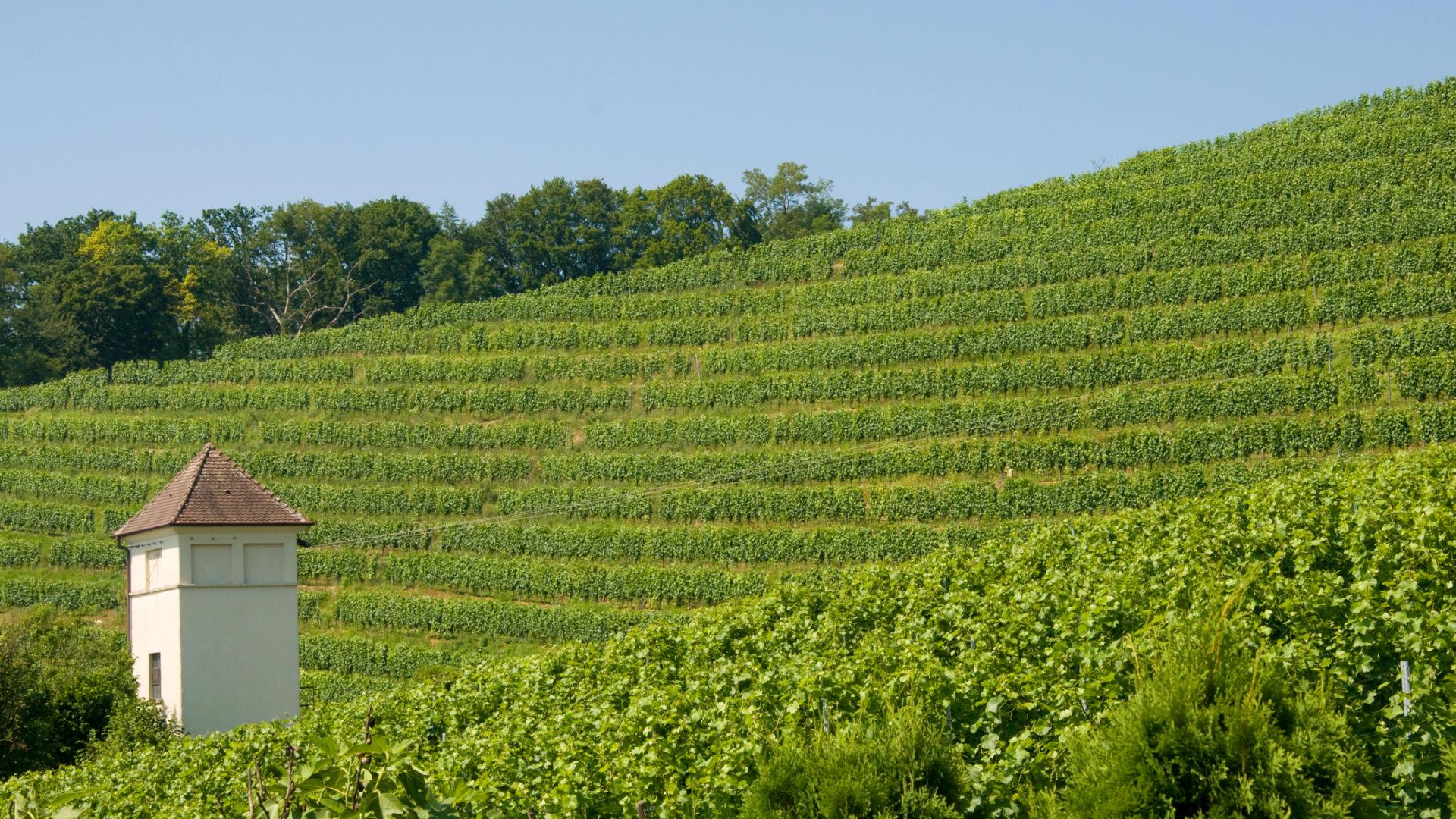 Blick auf Weinberge in Meersburg am Bodensee