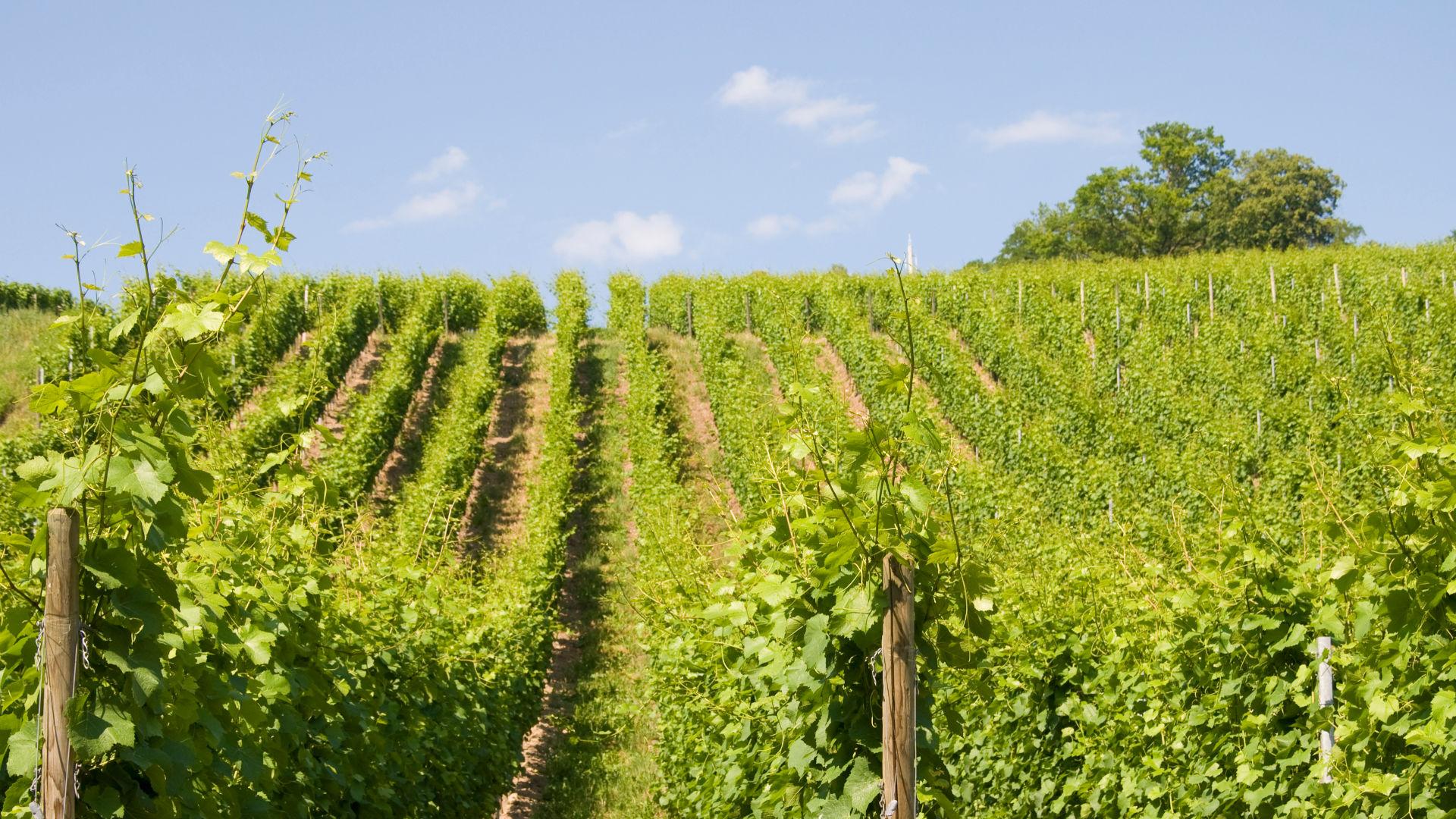 Blick auf Weinreben in Meersburg am Bodensee